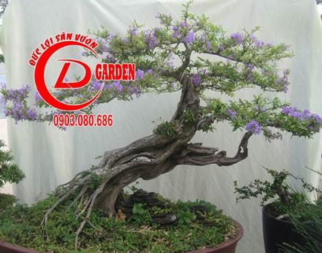 cây ba chia 2