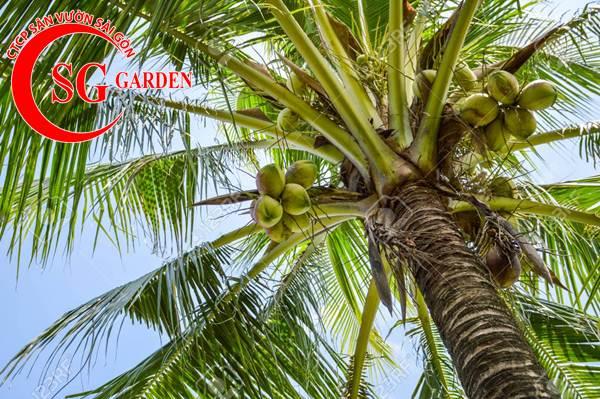 cây dừa kiểng 2