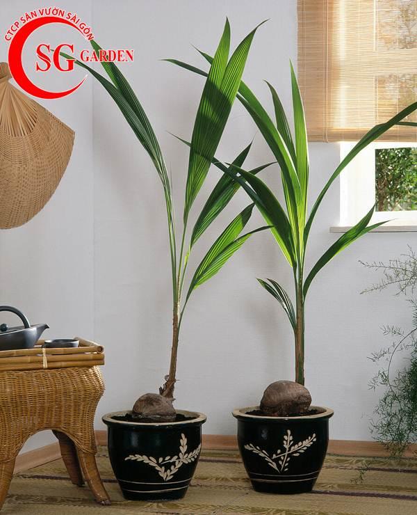 cây dừa kiểng 4