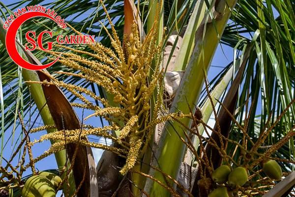 cây dừa kiểng 5