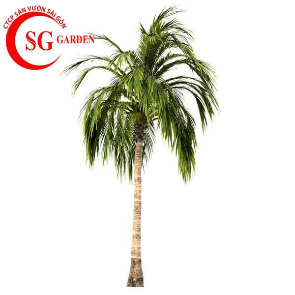 cây dừa kiểng 8