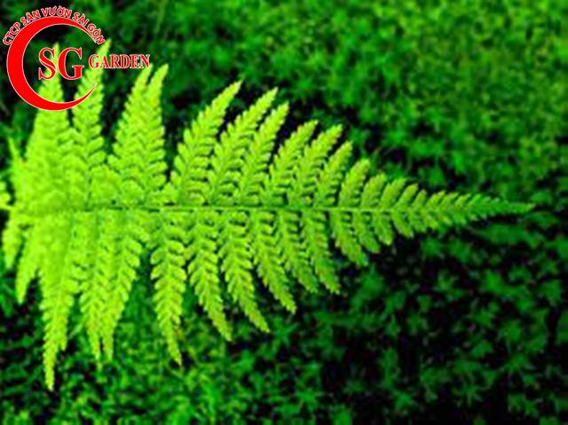 cây dương xỉ 7