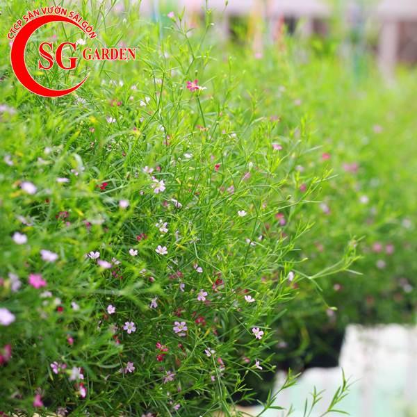 cây hoa baby 11
