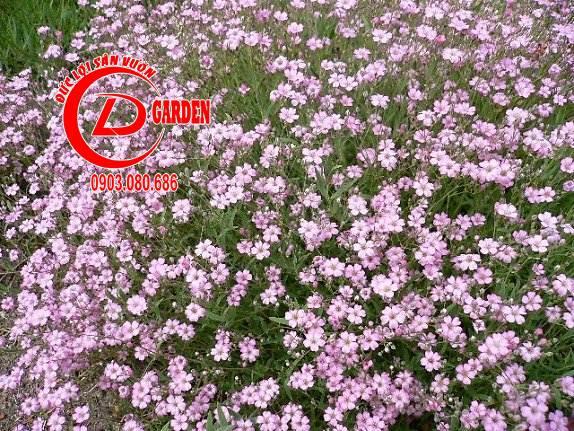 Cây Hoa Baby 4