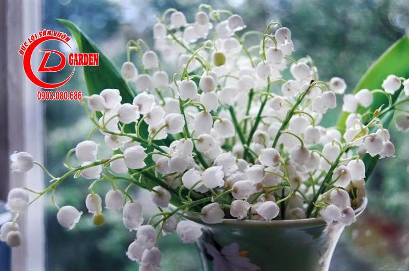 Cây Hoa Linh Lan 1