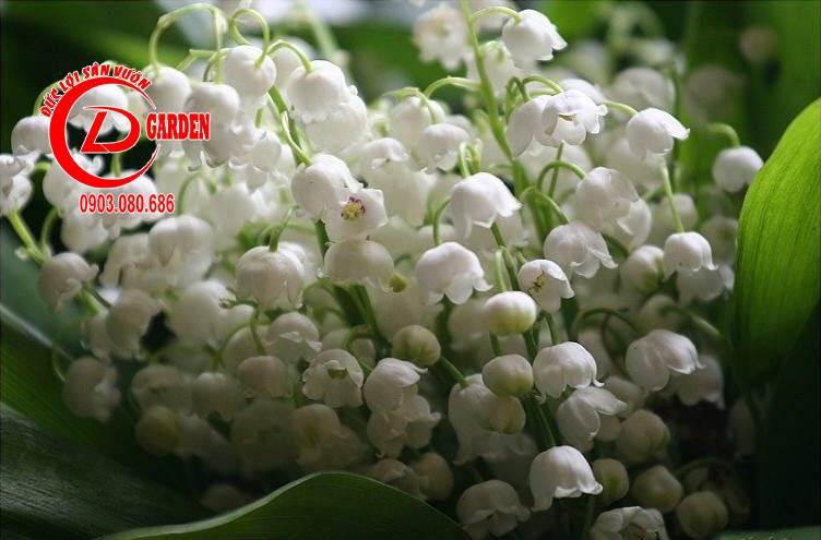 Cây Hoa Linh Lan 2