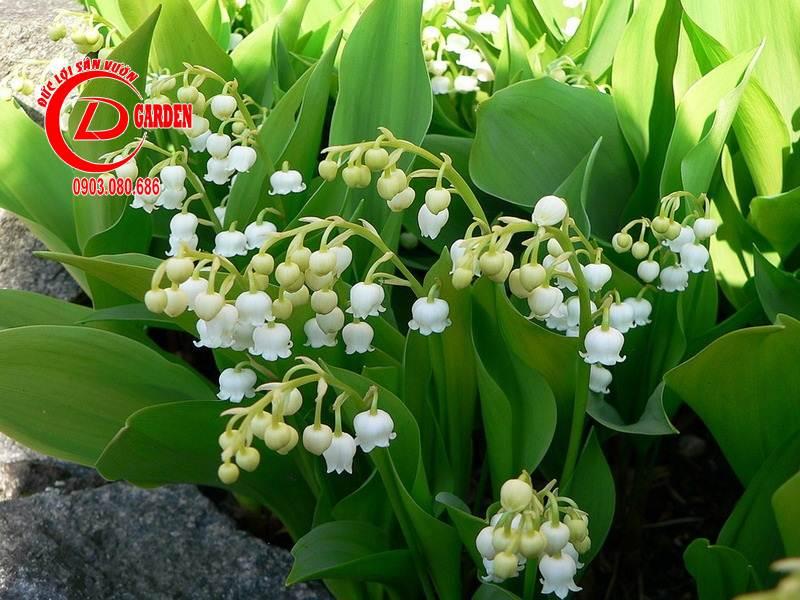 Cây Hoa Linh Lan 4