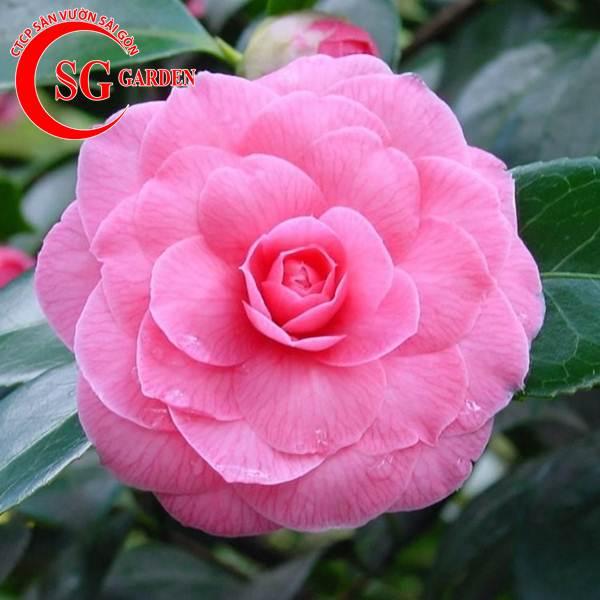cây hoa trà mi 11