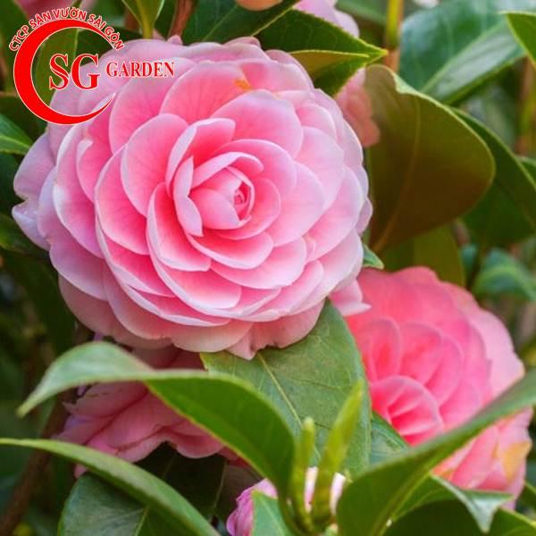 cây hoa trà mi 12