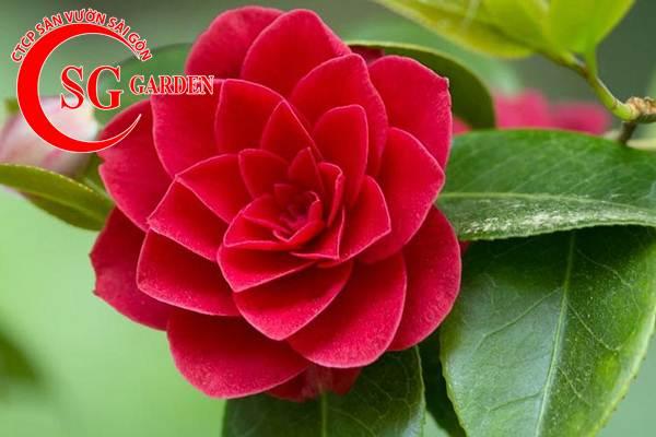 cây hoa trà mi 4
