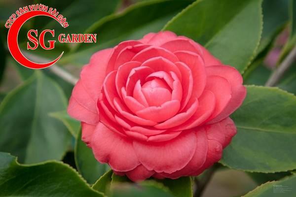 cây hoa trà mi 5