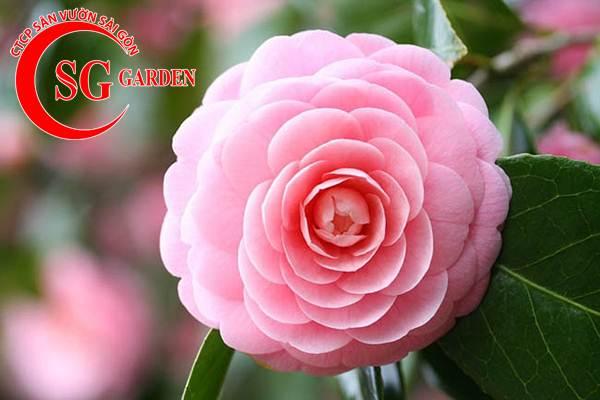 cây hoa trà mi 6