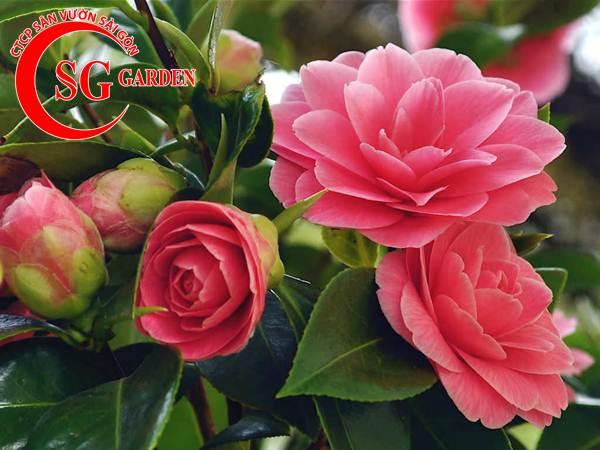 cây hoa trà mi 7