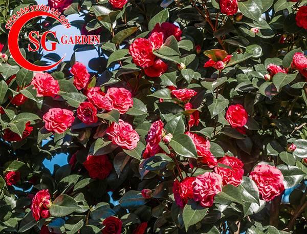 cây hoa trà mi 9