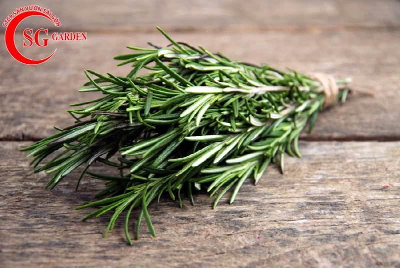 Cây hương thảo 1