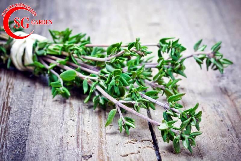 Cây hương thảo 6