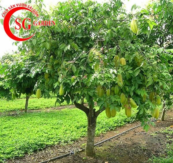 cây khế 9