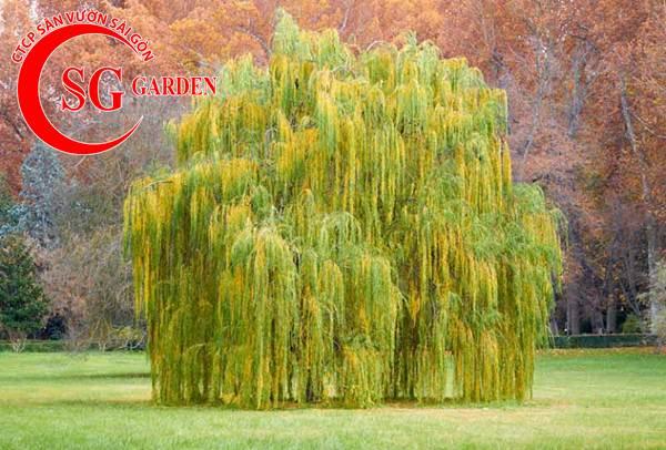 cây liễu 8