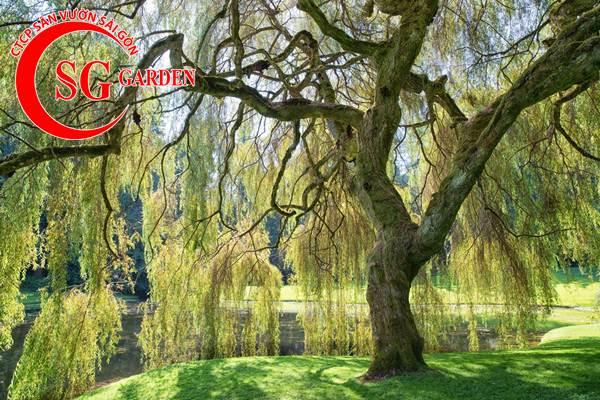 cây liễu 9