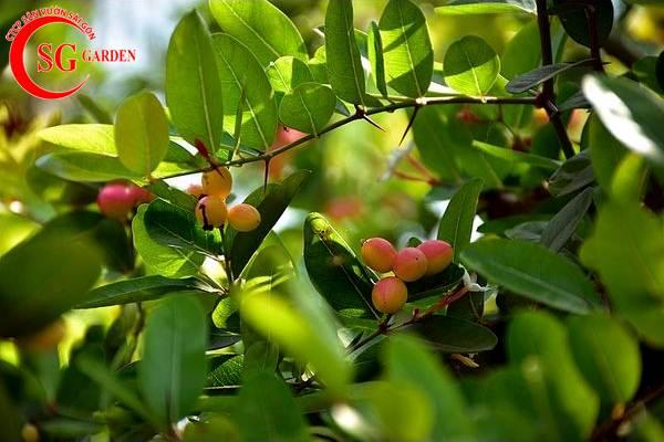 cây siro 2