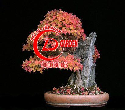 Tổng Hợp Những Chậu Bonsai Phong Lá Đỏ Đẹp 1
