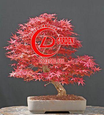 Tổng Hợp Những Chậu Bonsai Phong Lá Đỏ Đẹp 3