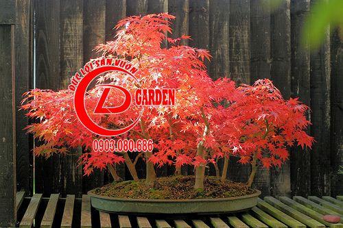 Tổng Hợp Những Chậu Bonsai Phong Lá Đỏ Đẹp 6