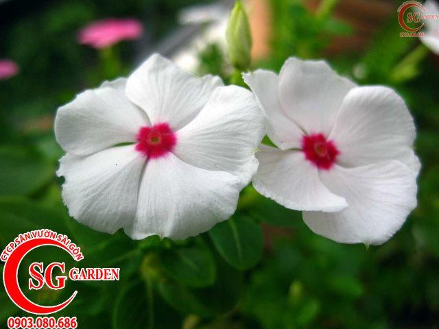 Hoa Dừa Trắng 1