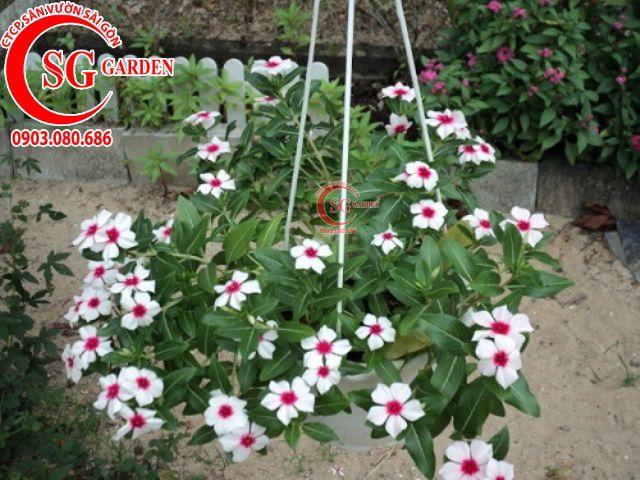 Hoa Dừa Trắng 3