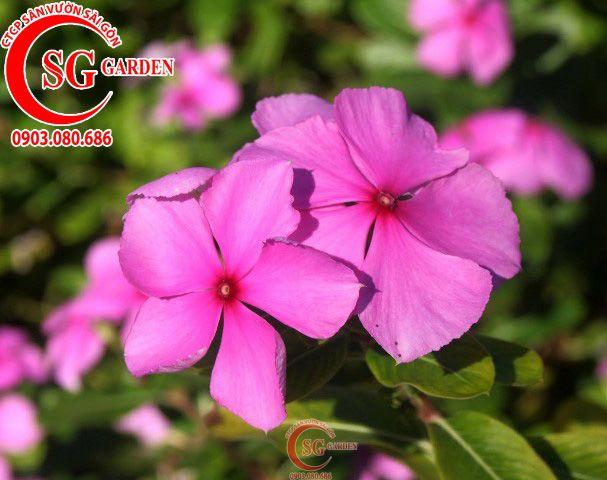 Hoa Dừa Trắng 4