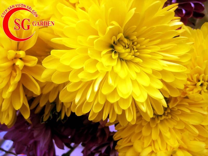 cây hoa cúc vàng 1