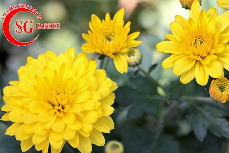 cây hoa cúc vàng 10