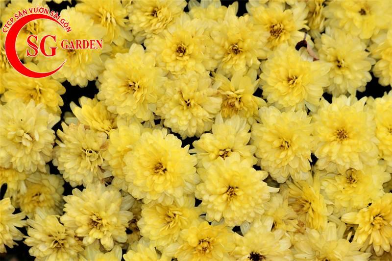 cây hoa cúc vàng 11