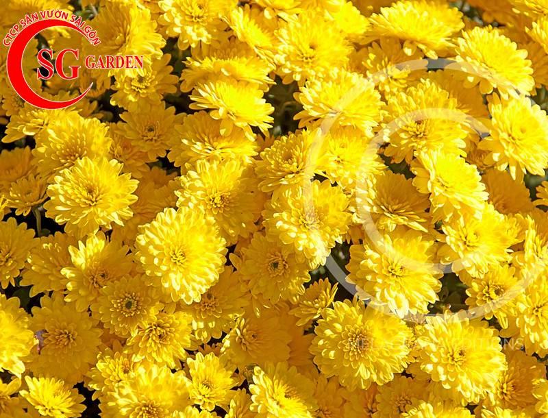 cây hoa cúc vàng 12