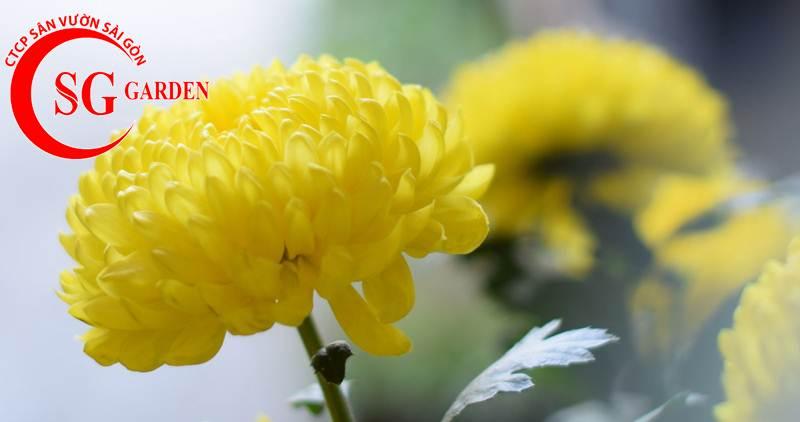 cây hoa cúc vàng 2