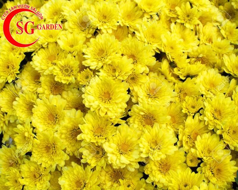 cây hoa cúc vàng 3