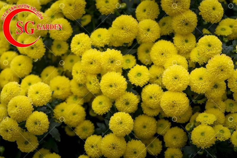 cây hoa cúc vàng 4