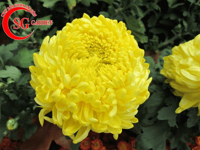cây hoa cúc vàng 5
