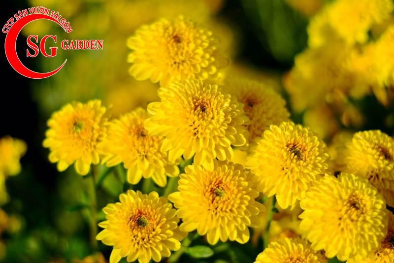 cây hoa cúc vàng 6