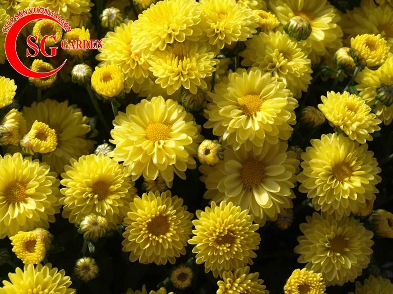 cây hoa cúc vàng 7