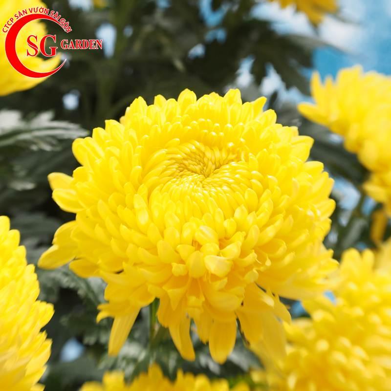 cây hoa cúc vàng 8