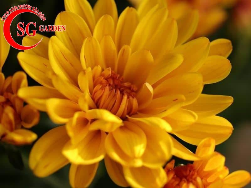cây hoa cúc vàng 9