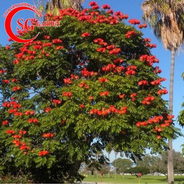 cây sò đo cam 2