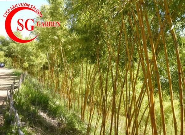 cây tre vàng 8