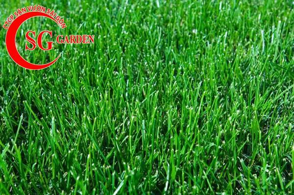 cỏ bermuda 5