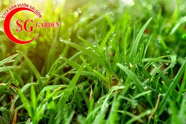 cỏ bermuda 6