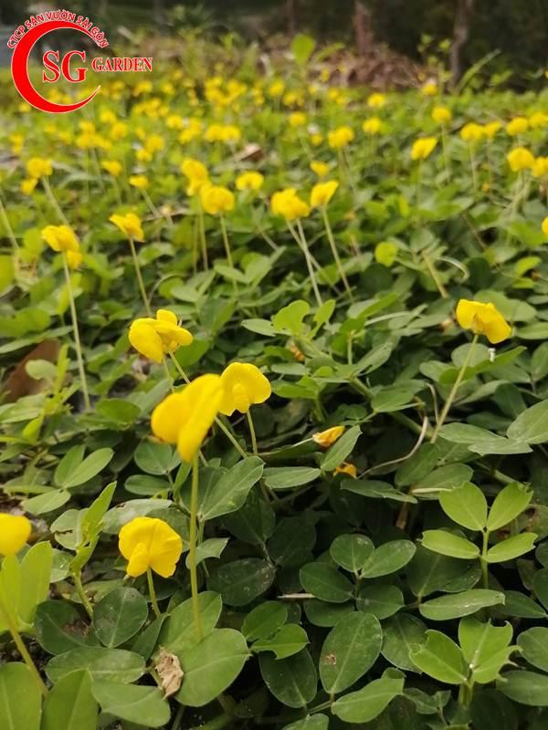 cỏ đậu phộng 5