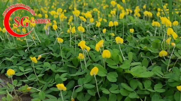 cỏ đậu phộng 6