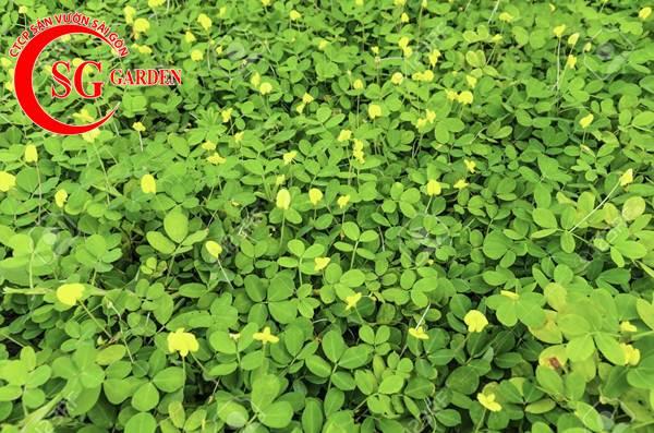 cỏ đậu phộng 7