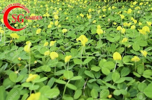 cỏ đậu phộng 8
